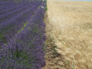 This lavender is growing in close proximity to golden wheat.