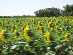 A blur of sunflowers from the car window