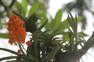 Most orchids are epiphytes, which are plants that grow upon other plants, such as trees.