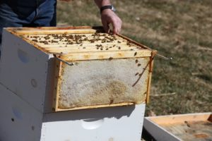 Guy is hoping to find the queen to see if she is healthy and actively producing new brood, so he removes another frame.