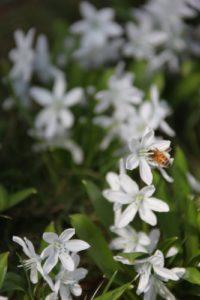 The honeybees love the puschkinia.