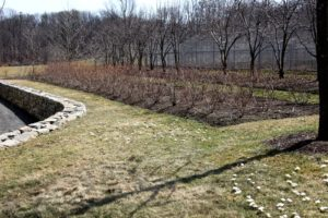 The blueberry patch has been nicely pruned.