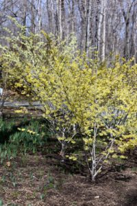 A grove of yellow witch hazel - so healthy this year!