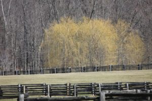 This grove of weeping willows has gotten so tall and is glowing yellow.
