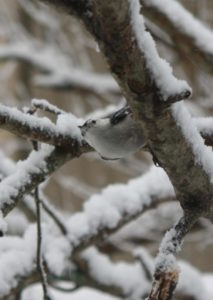 This is a white-breasted nuthatch.