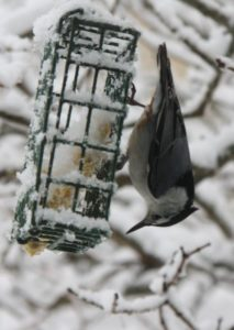 The white-breasted nuthatch has an appetite for insects and large, meaty seeds.  I hope the suet is satisfying enough.