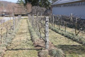 The apple espalier is neatly pruned and all ready to sprout.