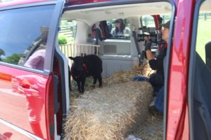 Livestock is usually transported in an appropriate trailer.  I'm not sure I would like to ride in this minivan.