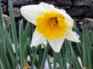 Daffodil bulbs should be planted where there is full sun or part shade. Most tolerate a range of soil types but will grow best in moderate, well-drained soil.
