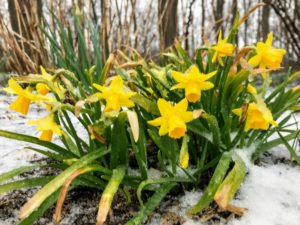 Depending on the type of cultivar and where it is planted, the daffodil's flowering season can last up to several weeks.