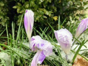 Patches of crocus can be found everywhere around my farm.