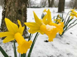 I take stock of my daffodils every year to see what is growing well and what is not, so I can learn what to remove, where to add more, and what to plant next.