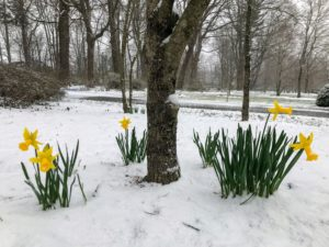 Here are more daffodils in the tree pit across from my tree peony garden not far from my Summer House.