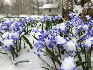 Chionodoxa, known as glory-of-the-snow, is a small genus of bulbous perennial flowering plants in the family Asparagaceae, subfamily Scilloideae, often included in Scilla. This patch is across from my long clematis pergola. The structure in the background is my Basket House where I store many of the baskets I've collected over the years.