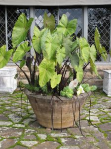 This monumental Eric Soderholtz planter was created before 1930, in Gouldsboro Maine. I found the pot in an antiques store in Maine - Bob Withington's.  It was planted in June with exotics including giant alocasia and succulents.