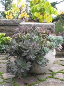 A Gertrude Jekyll-type pot filled with oversize succulents - They were planted in June, and by Sept/Oct had attained a very good size.