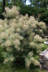 The fluffy plumes of a smokebush