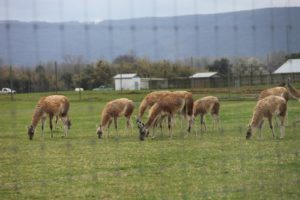 Arriving at Don Shadow's place - These are a rare type of South American guanaco, a relative of the llama and alpaca.