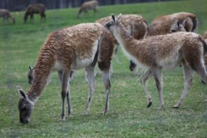They normally live in Tierra del Fuego, very far south on the South American continent.