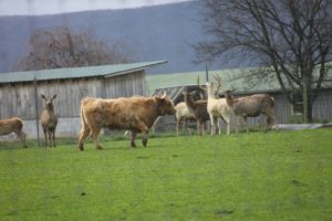 Wooly highland cattle are also bred here and they live quite peacefully with Don's collection of deer.