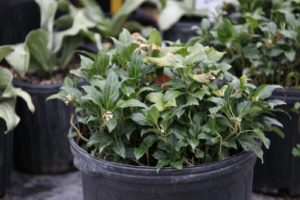 Here's a different type of pachysandra - stylosa - rather rare from China.