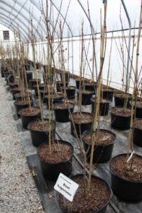 Beni hagoromo is one of Don's favorite Acer palmatums.