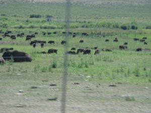 Our very first sighting of bison