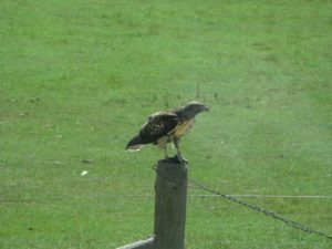 A hungry red-tailed hawk is perched with its prey - poor little mouse.