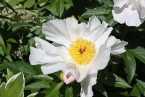 A lovely species peony