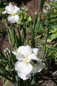 A white beardless iris