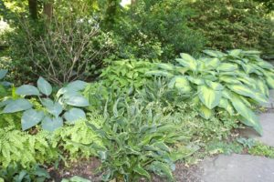 The shade garden on the other side of the driveway is so lush this year.  The hostas and ferns are amazing!
