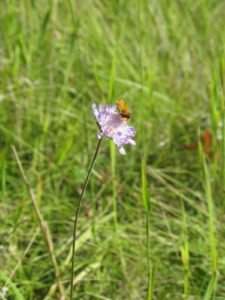 A scabiosa flower topped off with a butterfly