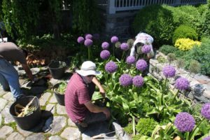 Earlier that day, Shaun and his crew were weeding a section of the terrace.  The allium were spectacular!