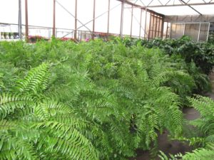 Anther view of the macho ferns - I love these plants.