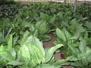 Aglaonema is a genus of about 40 species of foliage plants.