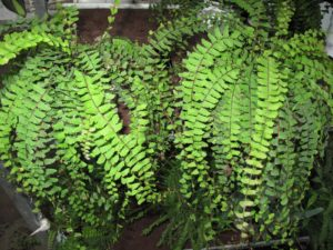 Another look at Adiantum, maidenhair ferns