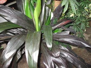 I love the shiny redish leaves of Cordyline.