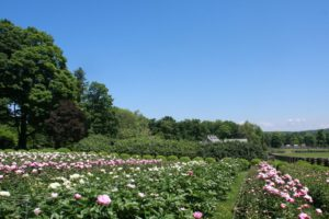 The peonies were spectacular even though they were about three weeks too early.