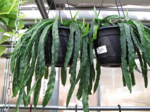 This is a rhipsalis - a trailing type of cactus.