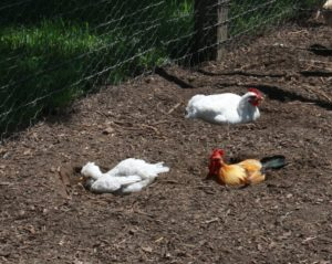 When the chickens get hot, they scratch cooling holes in which to sit.