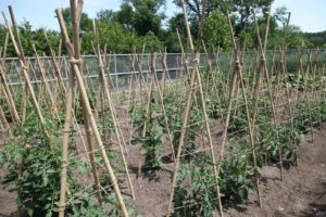 And thank goodness the tomatoes are healthy and strong.  Remember the tomato blight of last summer?