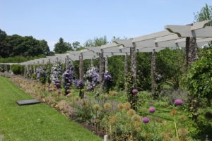 The clematis pergola with the allium border - Many blooms have already faded.