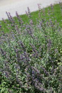 The nepeta, or cat mint, will soon be harvested for the kitties.