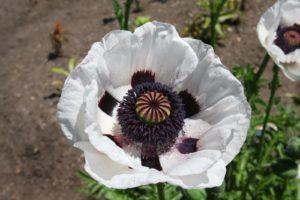 This white poppy is Papaver 'Royal Wedding.'