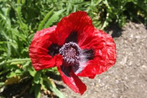 I don't recall the name of this brilliant red poppy.