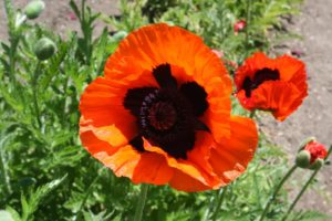 A brilliant Papaver orientale or Oriental poppy - it always amazes me how they unfurl from such a crumpled state.