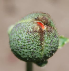 A visit to the cutting garden - Can you guess what flower this bud will reveal?