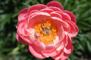 A herbaceous peony - such a warm shade of pink
