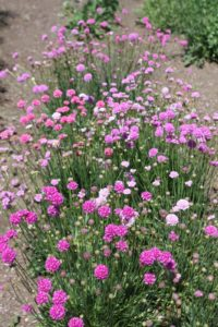 These pretty pincushion flowers are Armeria 'Bee's Hybrid.'