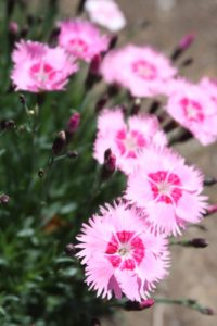 Delicate dianthus - these look hand-painted
